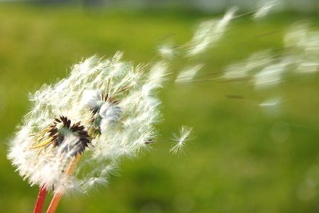 swelled: Dandelion fuzz swelled drops. Soft focus.