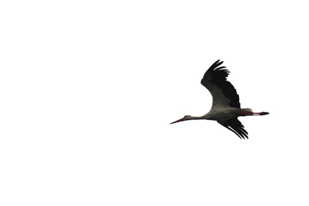 fine legs: beautiful flying stork isolated on white background close-up