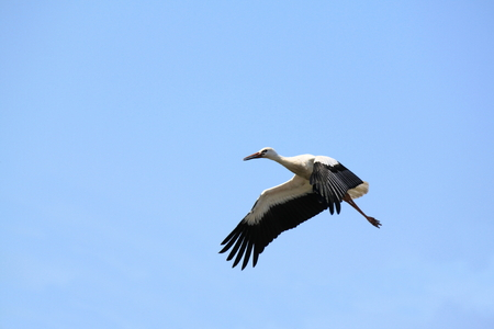 White stork flying outdoor against the sky
