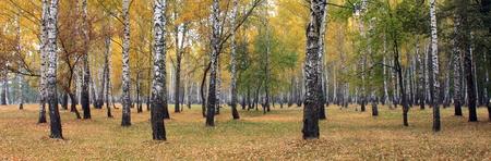 birchen: Yellow autumn birch forest. Birch grove. Stock Photo