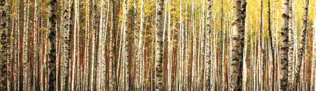 autumn birch forest landscape panorama Stock Photo