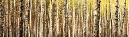 autumn birch forest landscape panorama Standard-Bild