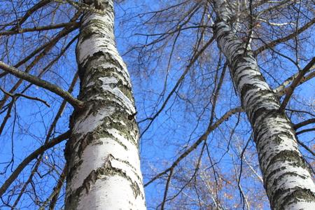 birchen: Autumn birch forest landscape