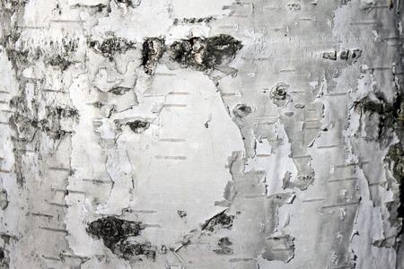 White birch bark, close up natural texture background
