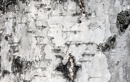 marqueteria: Corteza de abedul blanco, de cerca fondo natural textura Foto de archivo