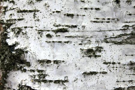 birchen: White birch bark, close up natural texture background