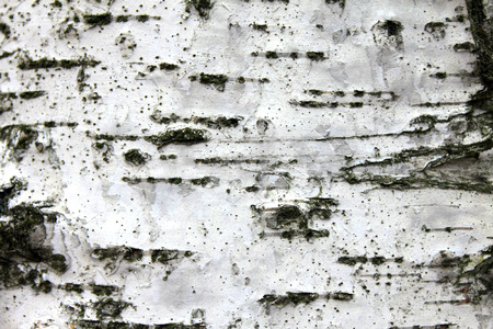 marquetry: White birch bark, close up natural texture background