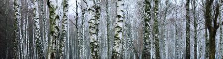 arboleda: Grove of birch trees, panorama