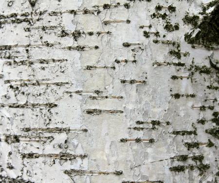 birchen: close up of birch bark texture, natural background paper