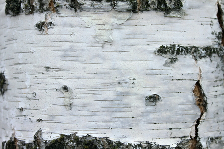 barks: close up of birch bark texture, natural background paper