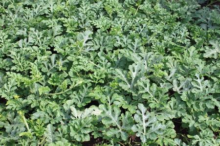 melon field: melon field in summer in the garden