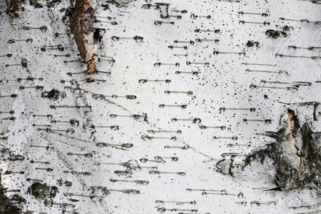 bark peeling from tree: birch bark texture background paper