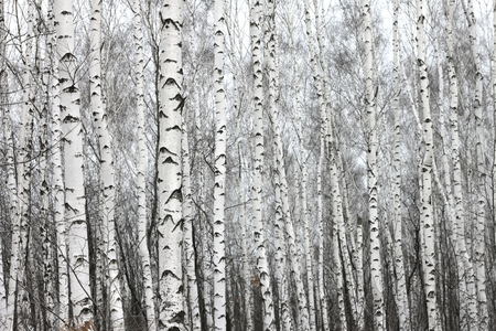 blackwhite: birch forest, black-white photo Stock Photo