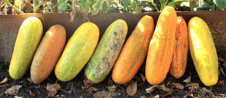 seminal: Several ripe cucumber as a symbol of summer and fertility Stock Photo