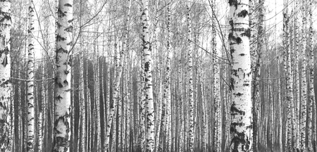 nature photo: Trunks of birch trees, black and white natural background