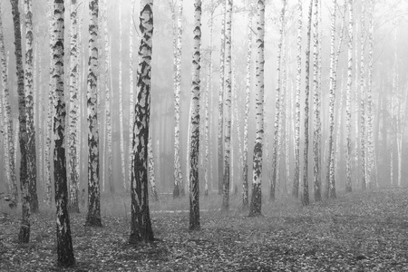 birch forest, black and white photo, beautiful landscape Stock Photo