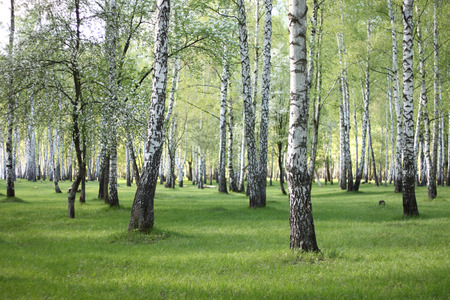 birchwood: Spring birch trees in forest, beautiful birch grove, birch-wood, green landscape