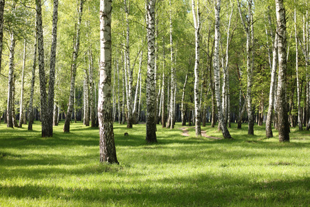 greenwood: Spring birch trees in forest, beautiful birch grove, birch-wood, green landscape