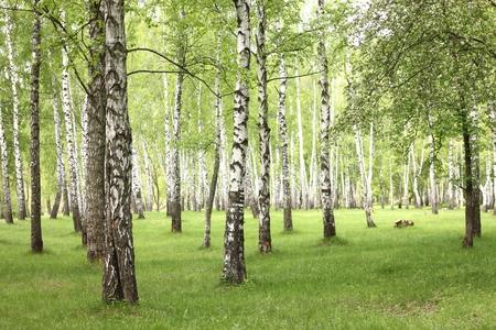 De berkbomen van de zomer in bos, mooi berkbosje, berkehout, groen landschap