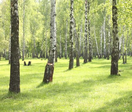 birchwood: Summer birch trees in forest, beautiful birch grove, birch-wood, green landscape