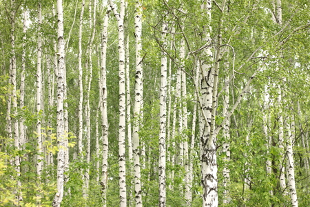 bark: Summer birch trees in forest, beautiful birch grove, birch-wood, green landscape