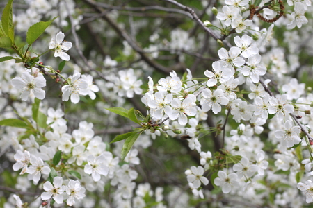Spring floral background, white flowers on the branches of a cherry tree with green leaves. Stock Photo