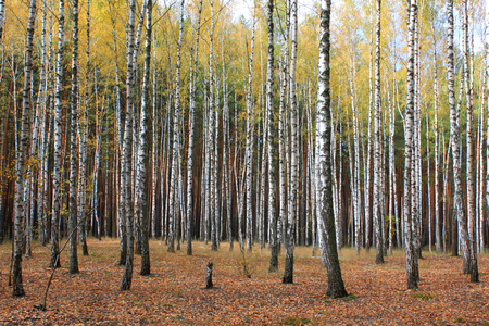 aspen grove: Grove of birch trees and dry grass in early autumn, yellow autumn birch forest
