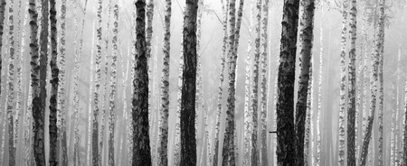 blackwhite: birch forest, black-white photo, autumn landscape