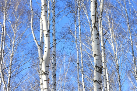 summer nature: Beautiful landscape with white birches against blue sky. Birch trees in bright sunshine. Birch grove in autumn.