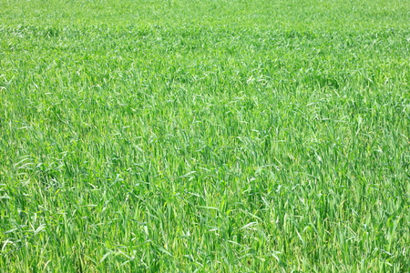 Beautiful spring background of green grass  natural green background texture with fresh grass