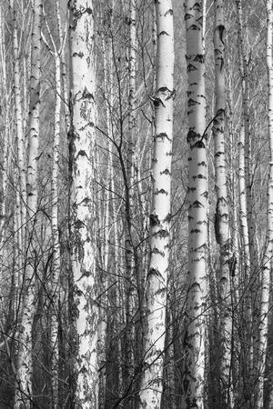 aspen leaf: birch forest, black-white photo Stock Photo