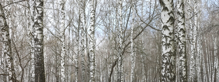 trunks of birch trees with white bark Stock Photo