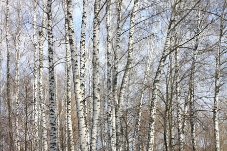 Trunks of birch trees against blue sky, birch forest in sunlight in spring, birch trees in bright sunshine