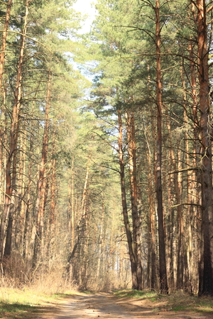 Beautiful pine forest in summer in clear weather