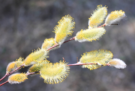 Beautiful yellow pussy-willow in spring on a natural close-up background