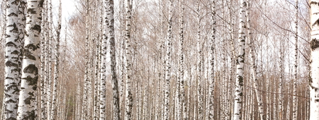 Beautiful landscape with white birches. Birch trees in bright sunshine. Birch grove in autumn. The trunks of birch trees with white bark. Birch trees trunks. Beautiful panorama. Stock Photo