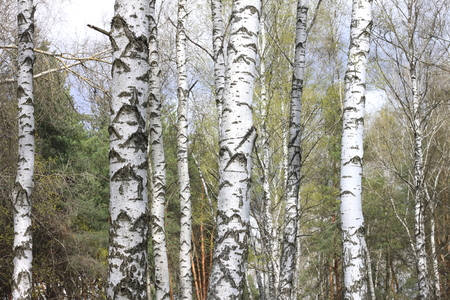 Trunks of birch trees in forest  birches in sunlight in spring  birch trees in bright sunshine  birch trees with white bark  beautiful landscape with white birches
