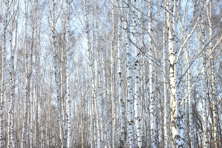 colore: Beautiful birch trees in winter in cold weather
