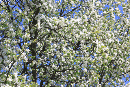 Beautiful White Apple Blossoms And Green Apple Tree Leaves In ...
