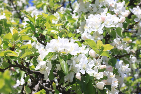 Beautiful white apple blossoms and green apple tree leaves in apple garden in good sunny weather in spring Stock Photo