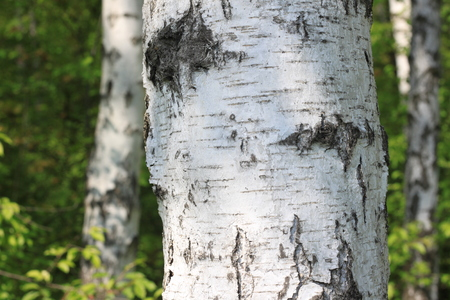Birch tree trunk in the sun outdoors in summer closeup. Birch bark in natural environment in sunlight in the morning.