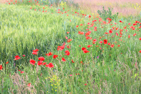 Summer field with red poppy flowers Imagens