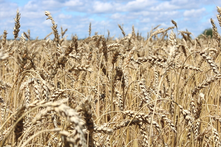 Wheat field in summer before harvesting
