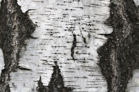 Birch bark texture for natural gray background Banco de Imagens