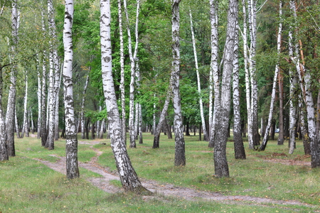 Beautiful birches in forest in early autumn
