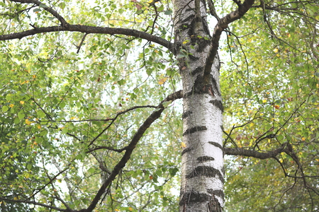 Beautiful birch in forest in early autumn Stock Photo
