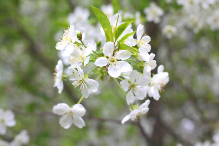 White flowers of fruit tree in good weather in spring Stock Photo