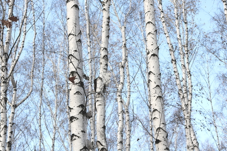 Trunks of birch trees in forest / birches in sunlight in spring / birch trees in bright sunshine / birch trees with white bark / beautiful landscape with white birches Banco de Imagens