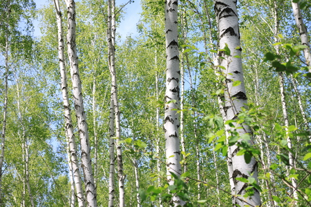 Beautiful young birch trees with green leaves in summer in sunny weather Stock Photo