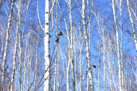 Trunks of birch trees in forest Stock Photo
